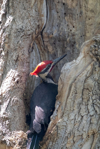 Pileated Woodpecker finding grubs in my box elder tree
