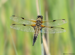 HolderFour Spotted Chaser