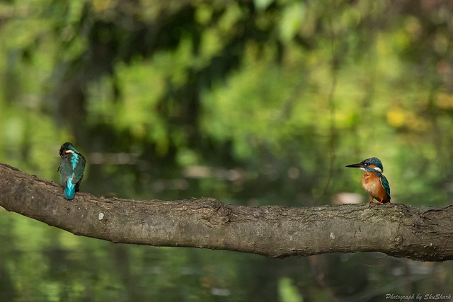 20180527-kingfisher-DSC_2689