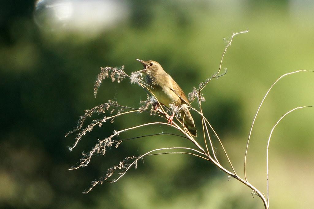 Речной сверчок (Locustella fluviatilis)