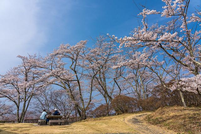 青空とソメイヨシノ@蓑山(美の山公園)