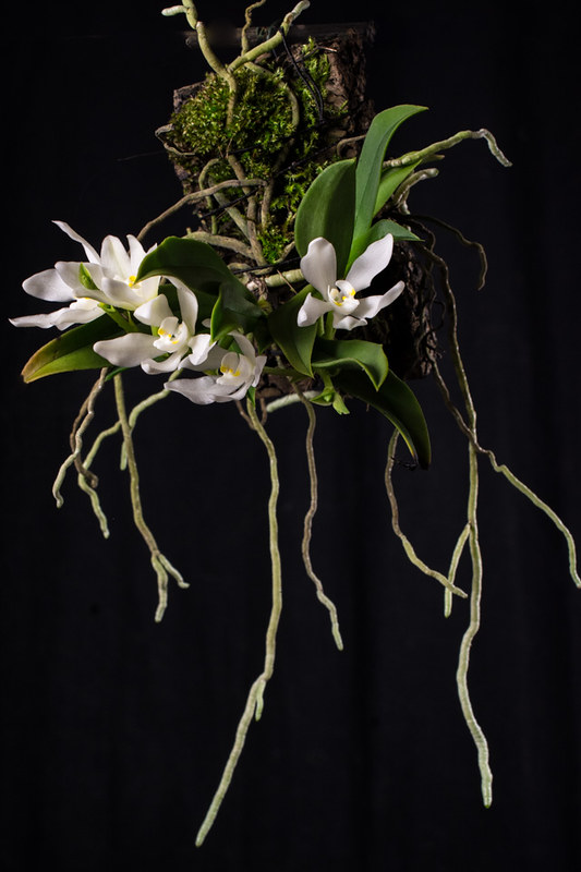 Miniatur-Orchideen Teil 4 - Seite 6 40465054654_298886a1b4_c