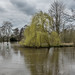Weeping willow on the Thames