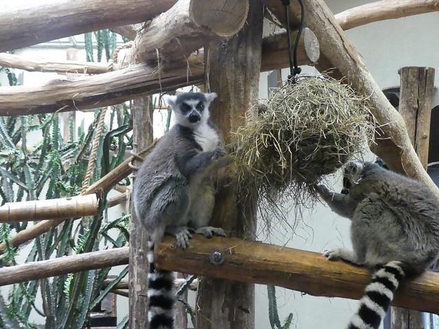 Katta, Burgers Zoo