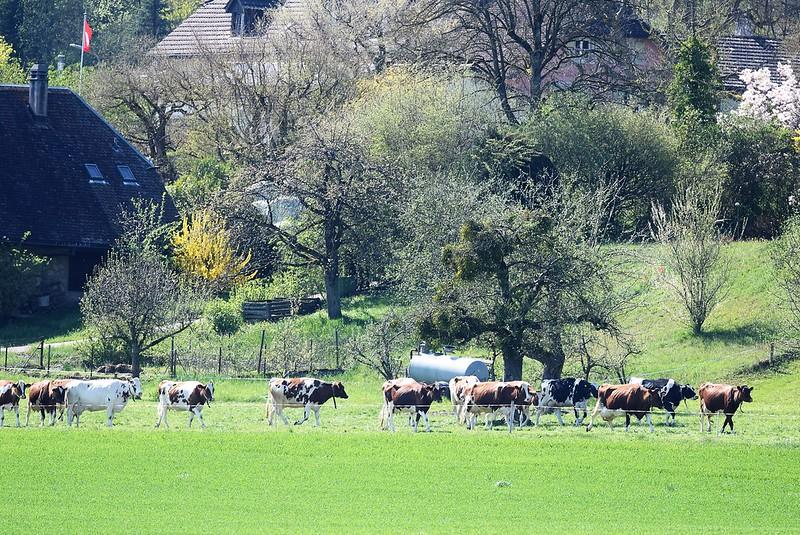 Cows 18.04 (19)