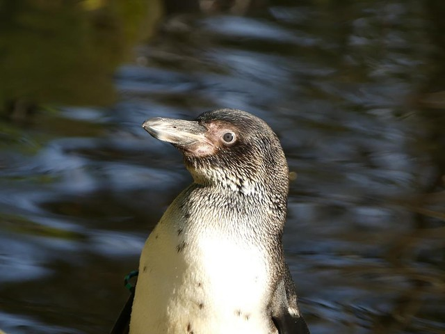 Humboldtpinguin, AquaZoo Friesland