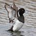 Tufted Duck, Aythya fuligula