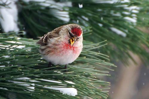 Обыкновенная чечётка (Carduelis flammea) Автор фото: Привалова Марина