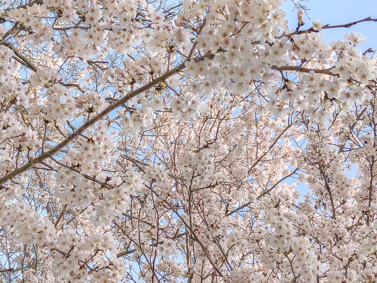 Sakura_Narita_Tokyo
