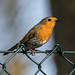 Robin on a wire mesh fence
