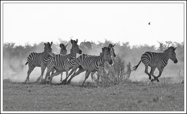 Zebra on the Run.