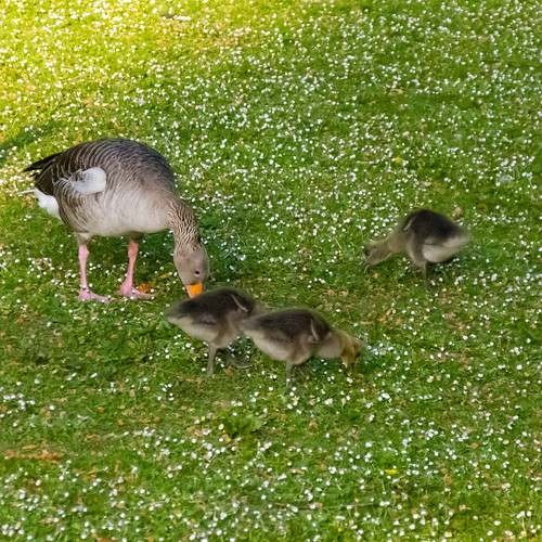 (Greylag) family meal time