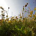 South Gare Flowers 3