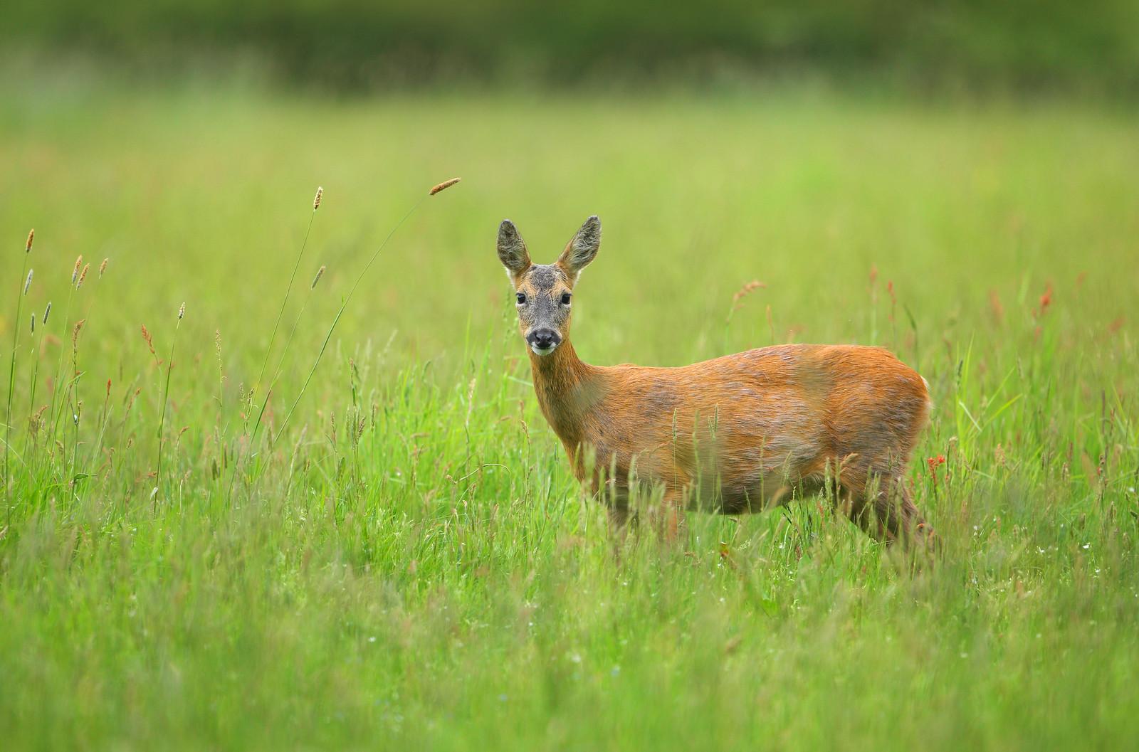 Pregnant Roe Deer