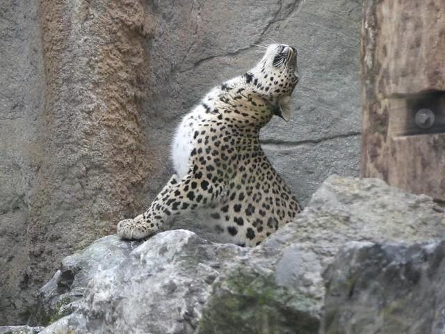 Nordpersicher Leopard, Allwetterzoo Münster