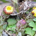 Emerging Coltsfoot