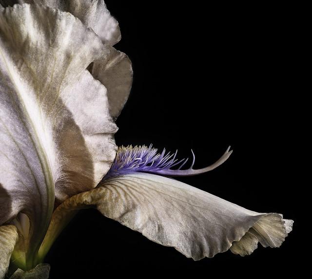 The Beard Of A German Bearded Iris
