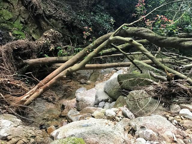 仙ヶ岳 白谷道 倒木