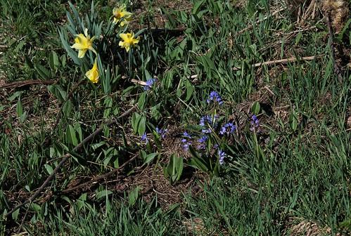 Scilla bifolia - scille à deux feuilles 26738121217_30c767da3d