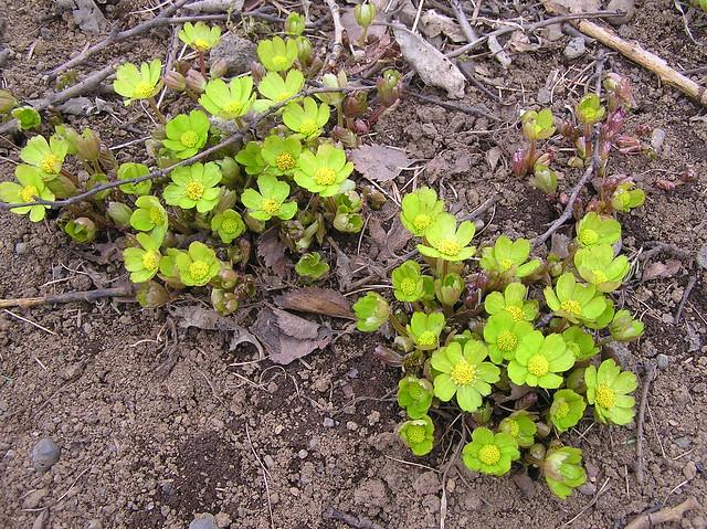 Hacquetia epipactis, Reykjavik Botanical Garden