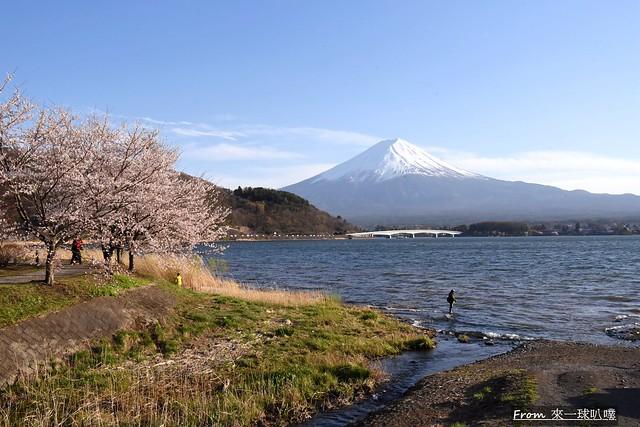 富士山河口湖櫻花季主會場30