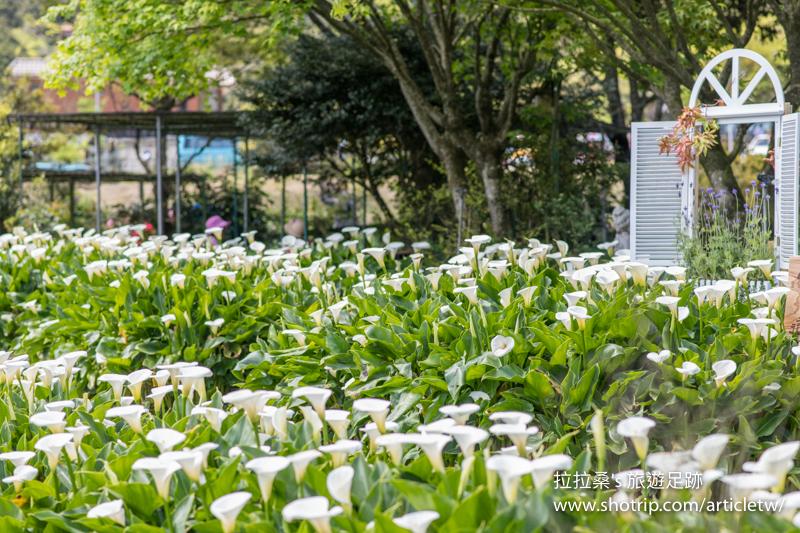 台北陽明山苗榜海芋園,盛開綻放的潔白海芋,好天氣更好拍,一起暢遊竹子湖海芋季,上山賞花趣~