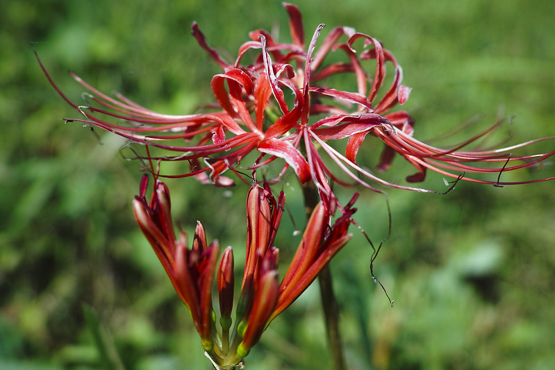 Spider Lily III - New and Old