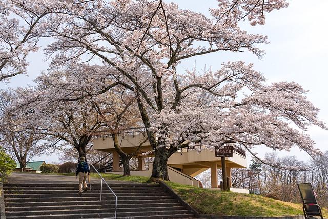 ソメイヨシノ咲く美の山公園