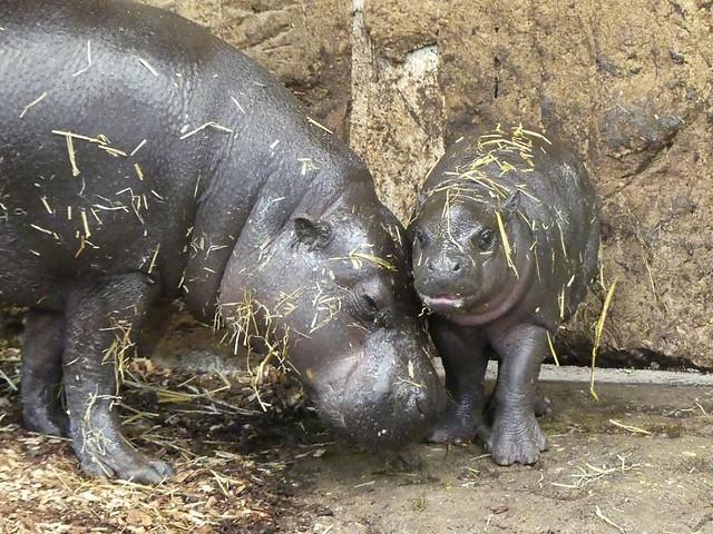 Zwergflusspferd, Zoo Duisburg