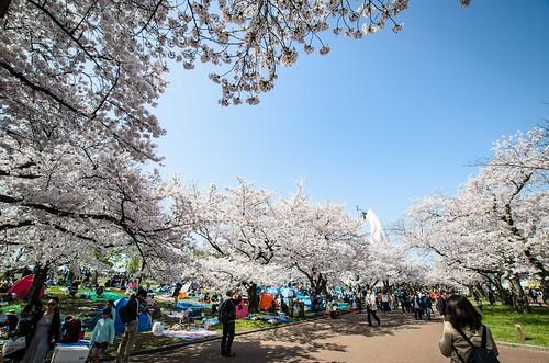 東大路の桜並木と太陽の塔