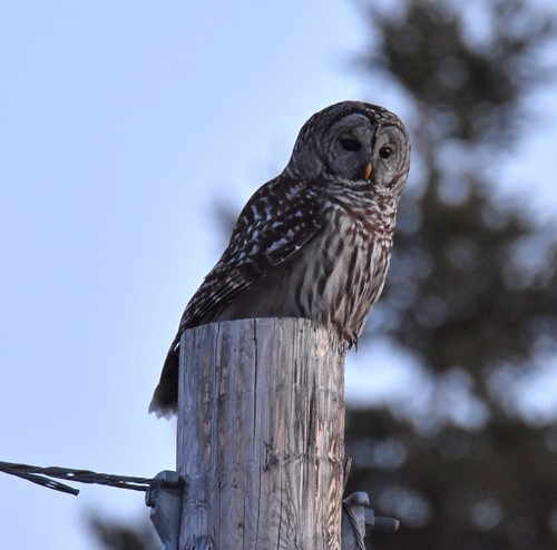 Barred Owl - sundown somewhere in Cape Breton