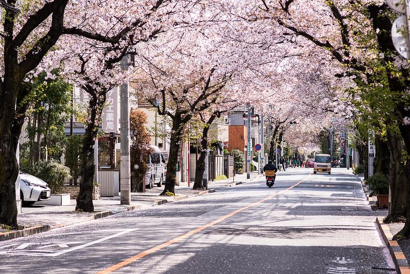 北千住・大踏切通りの桜並木で桜の花が舞う