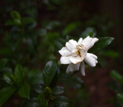 White blossom in rain