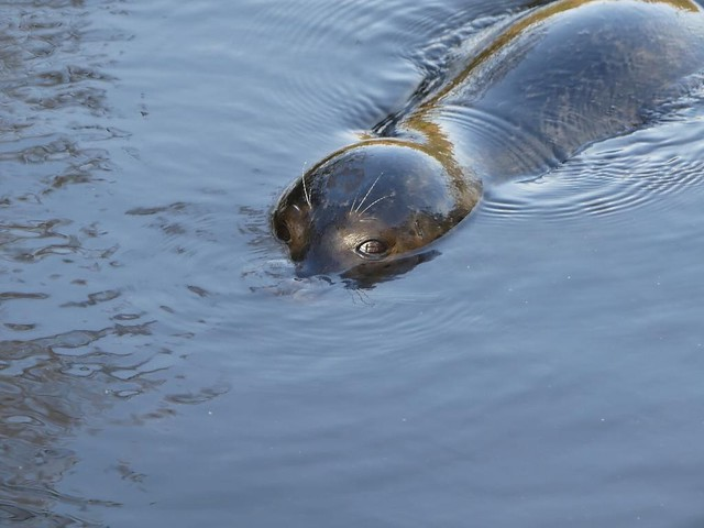 Seehund, AquaZoo Friesland