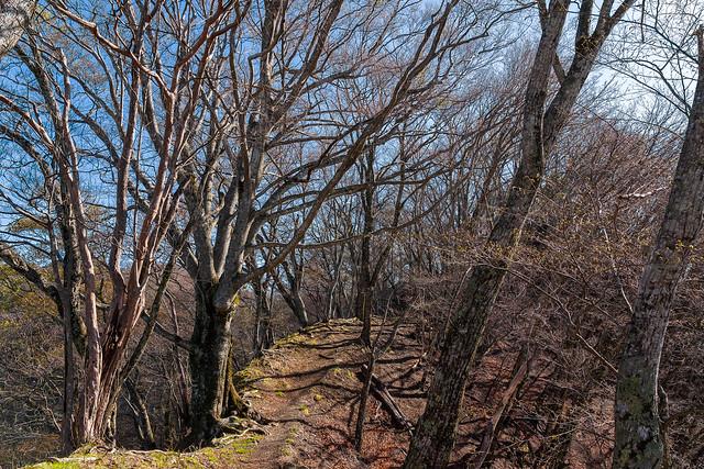 ヨコスズ尾根・・・巨木が茂り出る