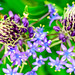Scilla peruviana (Cuban lily, Peruvian liliy) : シラー・ペルビアナ、オオツルボ(大蔓穂)