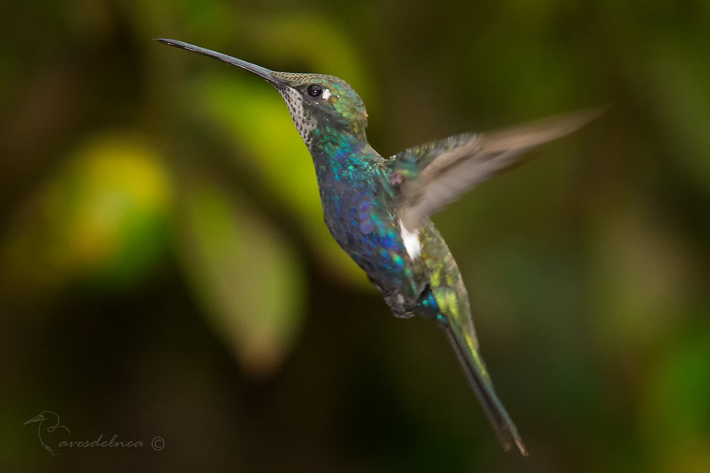 Picaflor de barbijo (Blue-tufted Starthroat) Heliomaster furcifer
