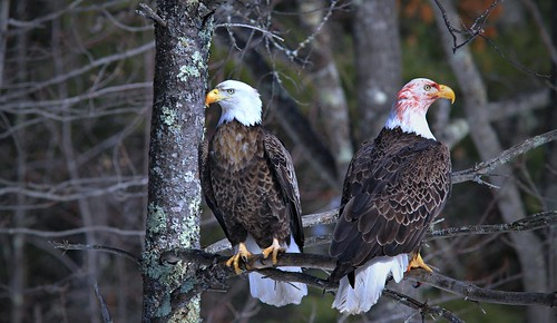 Matched Pair Of Bald Eagles Share A Perch Above A Deer Carcass Along The Teal River