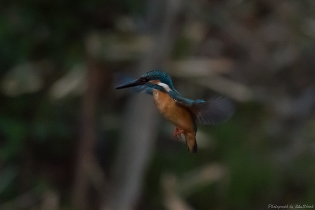 20180330-kingfisher-DSC_0573