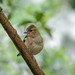 Chaffinch (female) - Fringilla coelebs