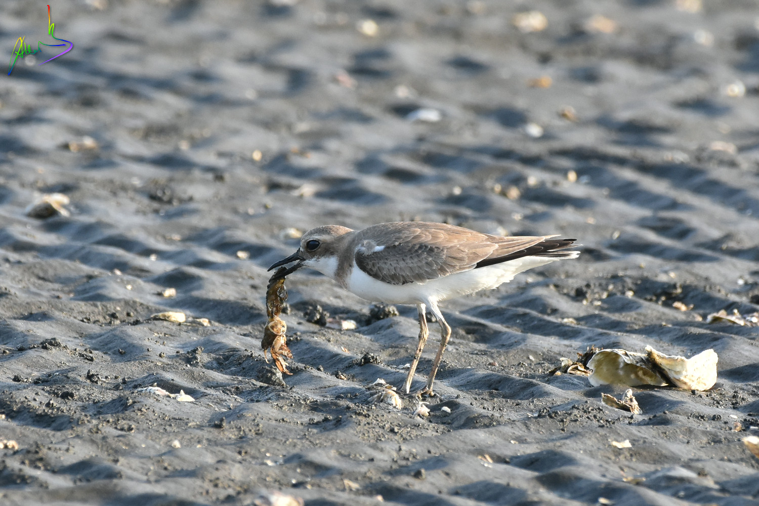 Greater_Sand_Plover_1773