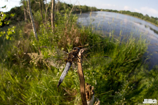 black-tailed skimmer @ Auwald Leipzig 2018