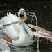 Kroeskop pelikanen /Dalmatian pelican by K.Verhulst