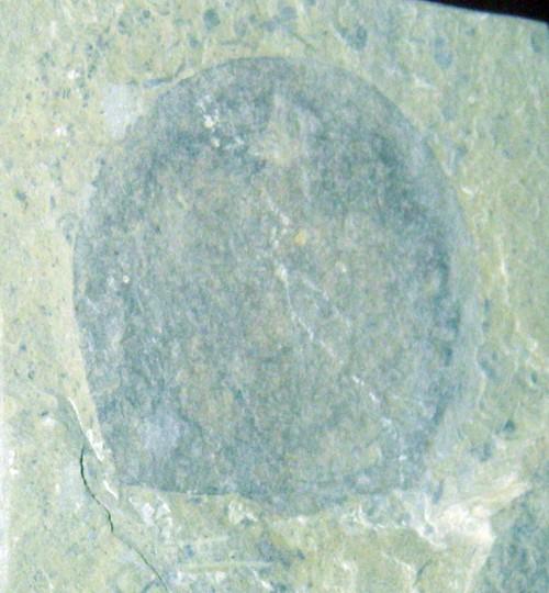 Heliomedusa orienta 42227945782_3941e942c7_o