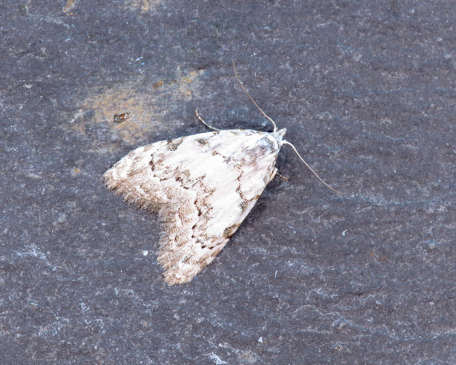 74.004 Least Black Arches - Nola confusalis