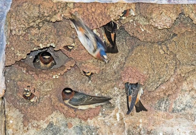 Cliff-Swallows-4-7D2-052218