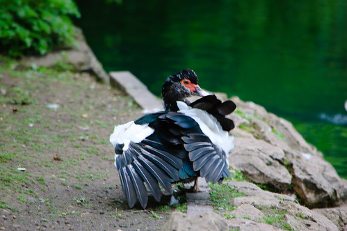 Muscovy drake, West Park, preening