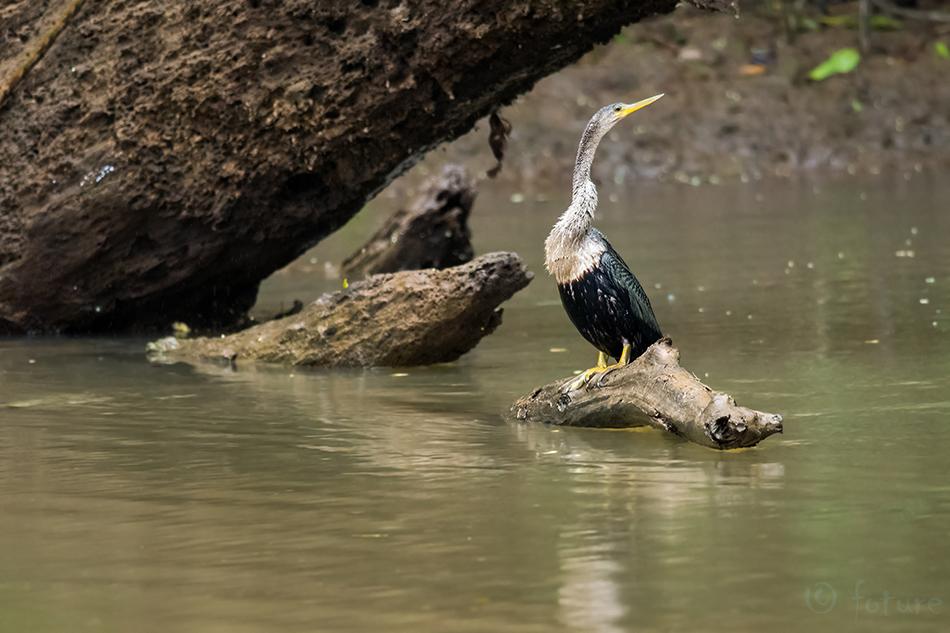 Ameerika, madukael, Anhinga, American, Darter, Snakebird, Caño, Negro, Wildlife, Refuge, Costa, Rica, Kaido Rummel