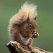 Red Squirrel by Larry D James