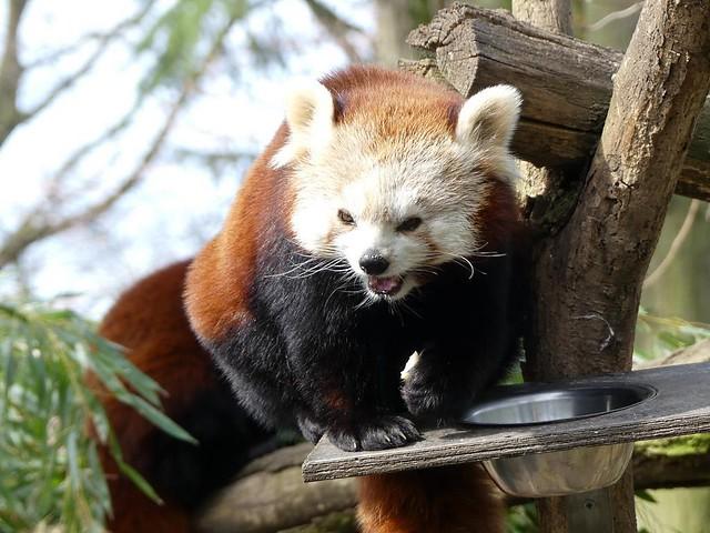 Roter Panda, Zoo Duisburg